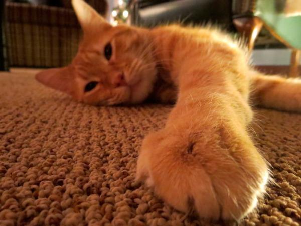 gato-no-tapete
